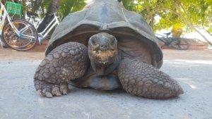 La Dique Landschildkröte