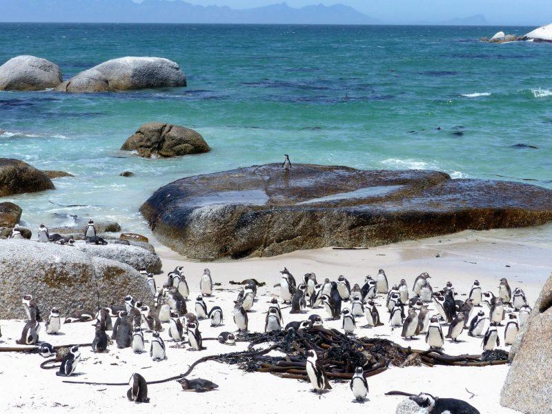 Südafrika - Pinguine Kaphalbinsel NEU