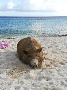 schwein am strand