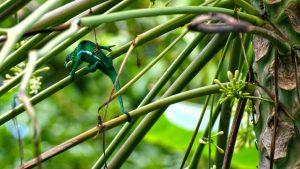 La Réunion Chameleon
