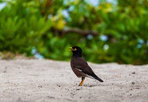 mauritius-mynah-bird