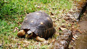 Schildkröte La Réunion