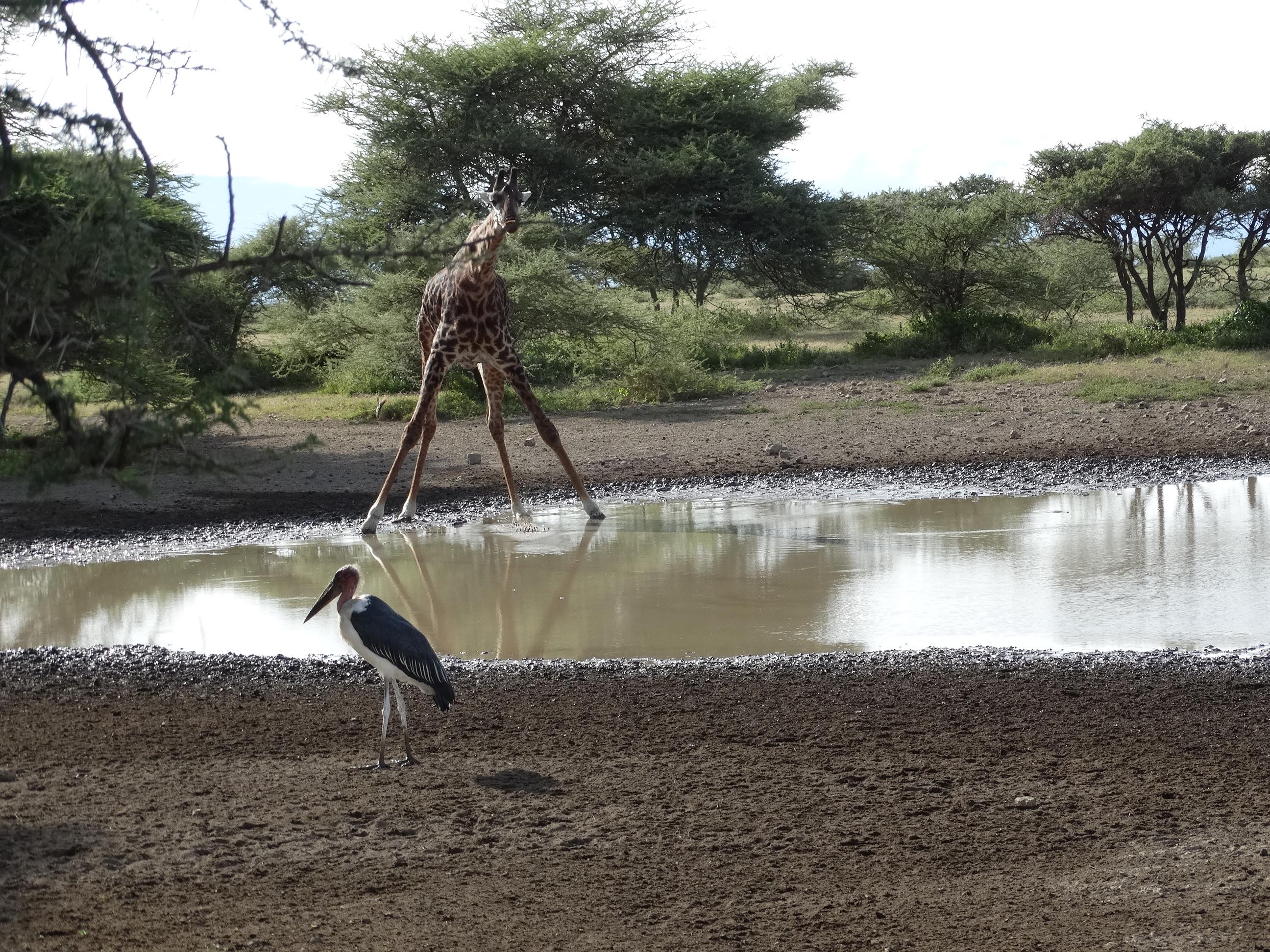 Giraffe Wasserloch